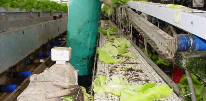 Conveyor Solution for Disposal of Lettuce Scraps